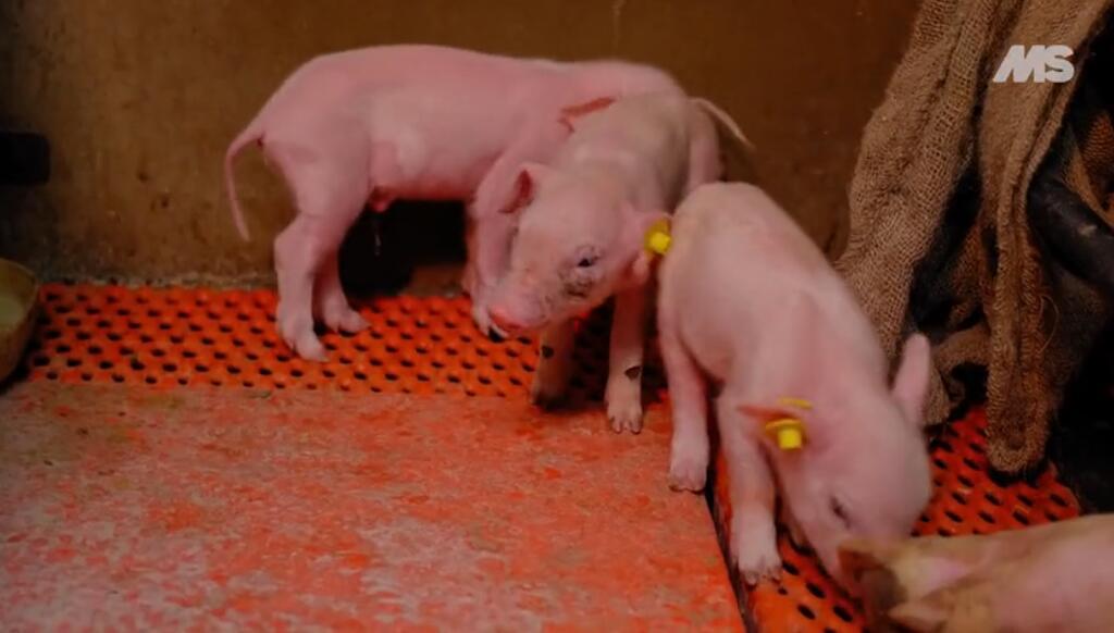 养猪技术:自动打耳标神器,让你事半功倍!