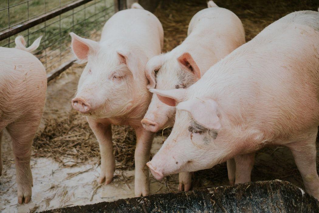 生猪数量将从猪瘟中恢复,但新病毒或对其构成风险