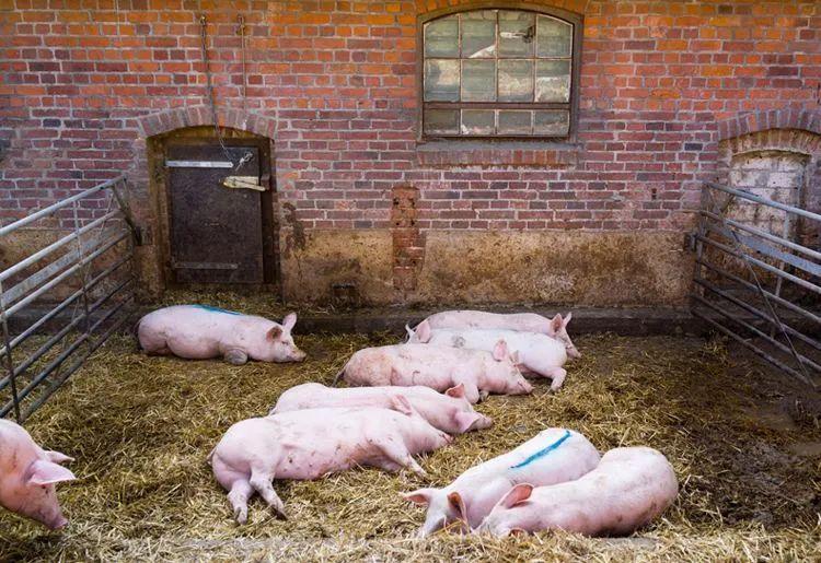 口蹄疫、蓝耳、猪流感...猪场流行病爆发!冬春季如何养好猪?