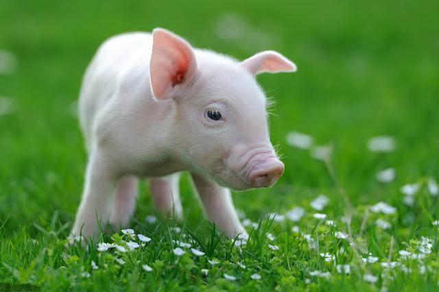 仔猪断奶容易出现消瘦、喘气?养户须注意这三大问题