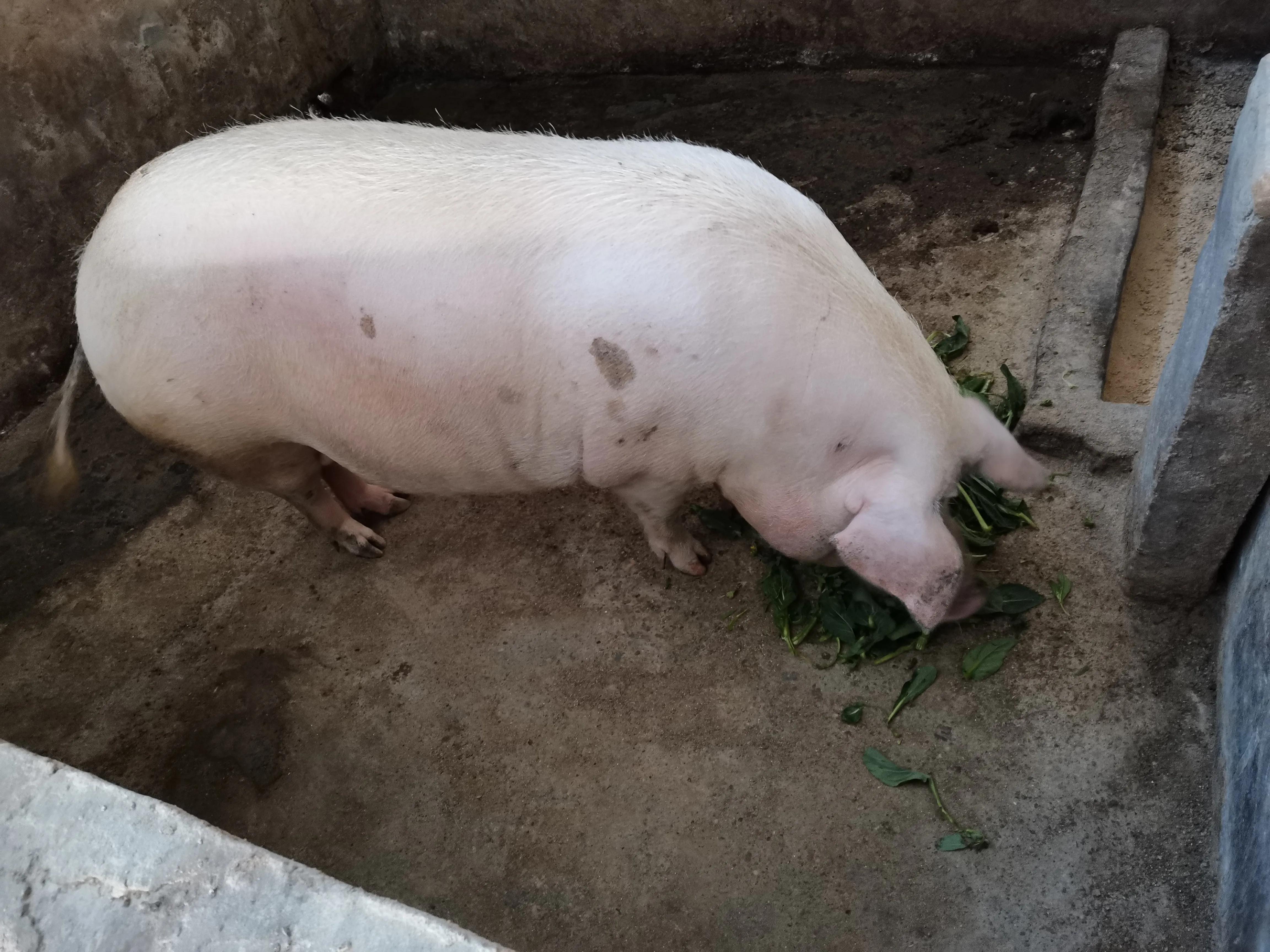 新手养猪,养母猪,怎样喂料