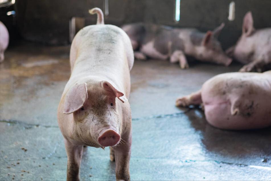 """2月26日猪价大""""跳水"""",一头猪少赚近千元,莫慌!2021年还是铜猪年"""