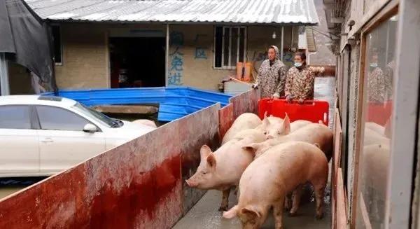 """龙头企业+养殖农场""""新1211生猪代养模式"""