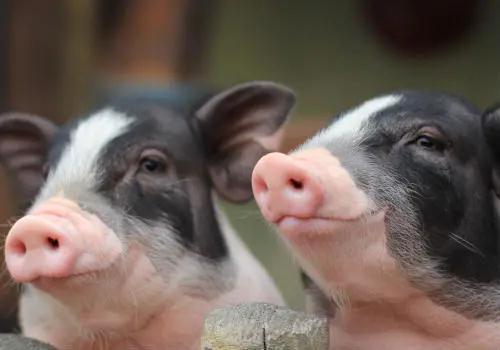母猪配种十天后