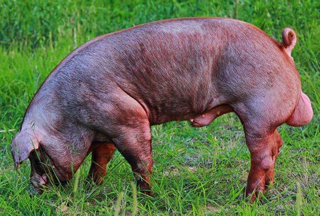 优质廉价公猪饲料配制三要点,为猪场培育强壮公猪