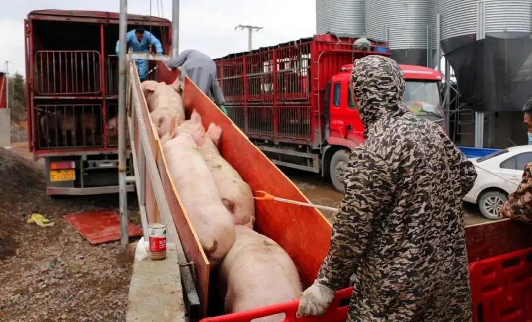 """""""龙头企业+养殖农场""""新1211生猪代养模式,助力养猪人年入百万!"""