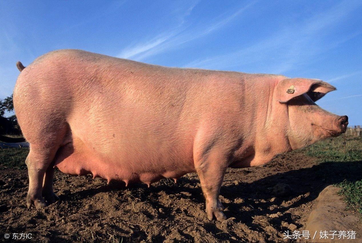 母猪生产中需要准备哪些东西?养猪人知道吗?
