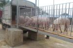 2021年02月27日全国各省市内三元生猪价格,今日全国屠宰场主流结算价呈现跌涨调整态势