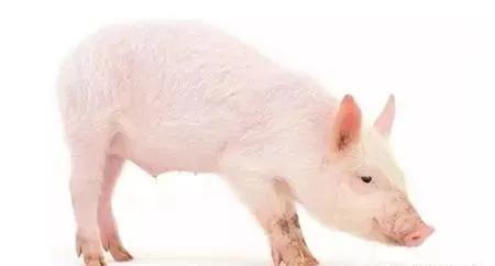 胡萝卜的用处这么多...治猪腹泻、僵猪、裂蹄?