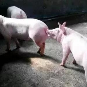 案例分析——猪场饮水冲圈两条管道,解决了冲圈的难题