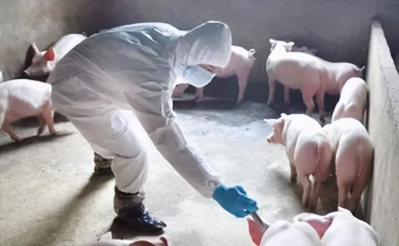 「养猪人」非瘟发现早,损失才会少!检测非瘟四个重点快来掌握