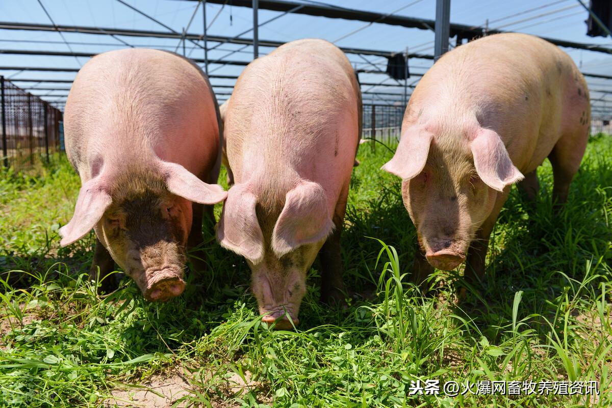 春季养猪需注意哪些?春季养猪要预防3种疾病
