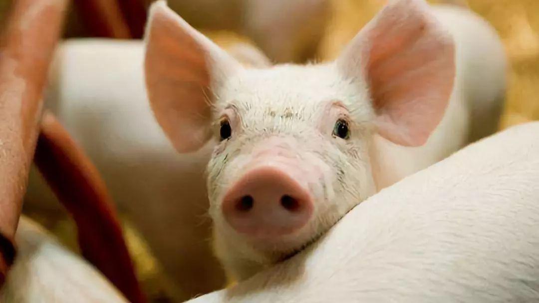 生猪期货与现货背离,下半年出栏量受影响?看看全国疫情受损情况
