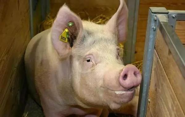 如何判断母猪是否怀孕