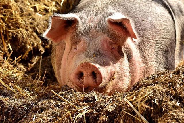 猪不好养究其原因就是猪病,猪会生病原来都是跟这些因素相关!