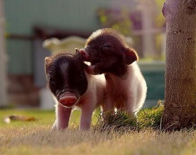 猪场管理:高效益猪场的八大管理要点,希望帮到你!