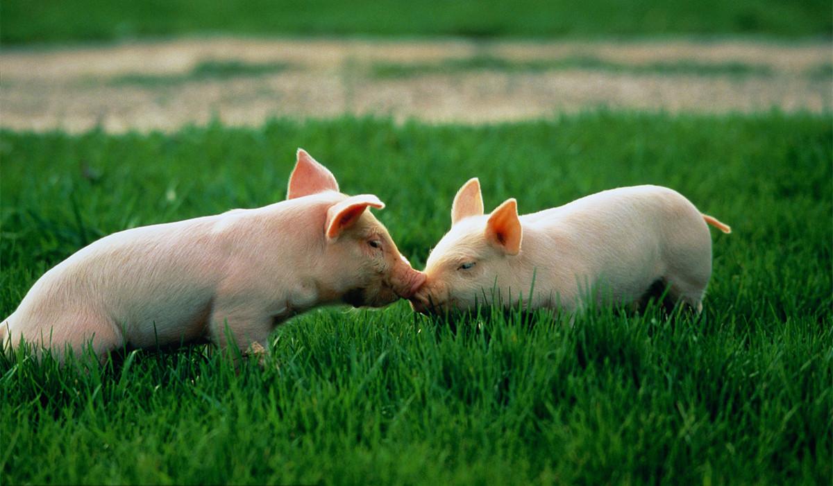 当前提高仔猪成活率的四大技术要点,可以解决猪流行性腹泻、传染性胃肠炎等疫病
