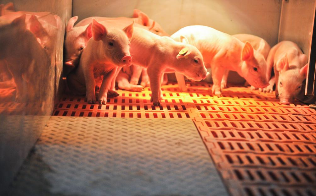 产房的管理要点(三):产后母猪和仔猪的管理 2