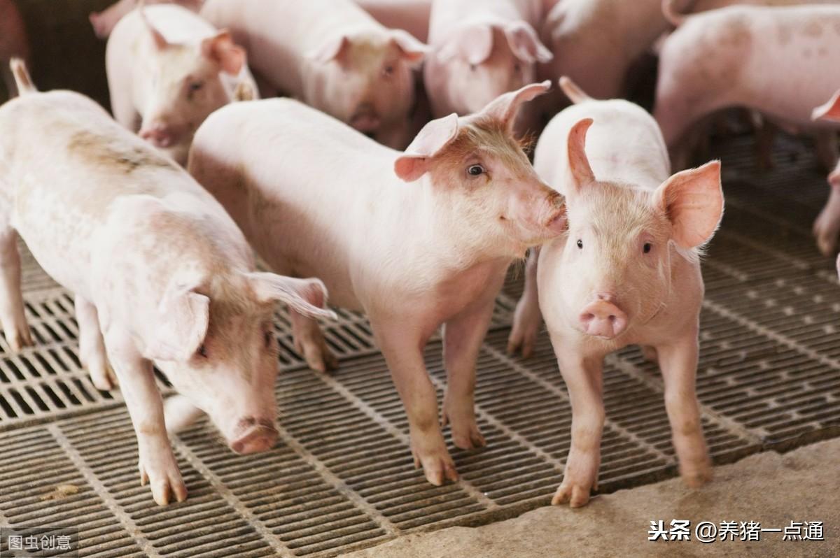 葡萄糖粉在养猪上的6个妙用,花小钱解决猪场大问题
