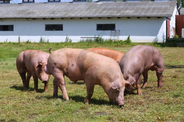 全球活猪数量同比下降!中国仍是猪肉供应量最大的国家,其次是欧盟...