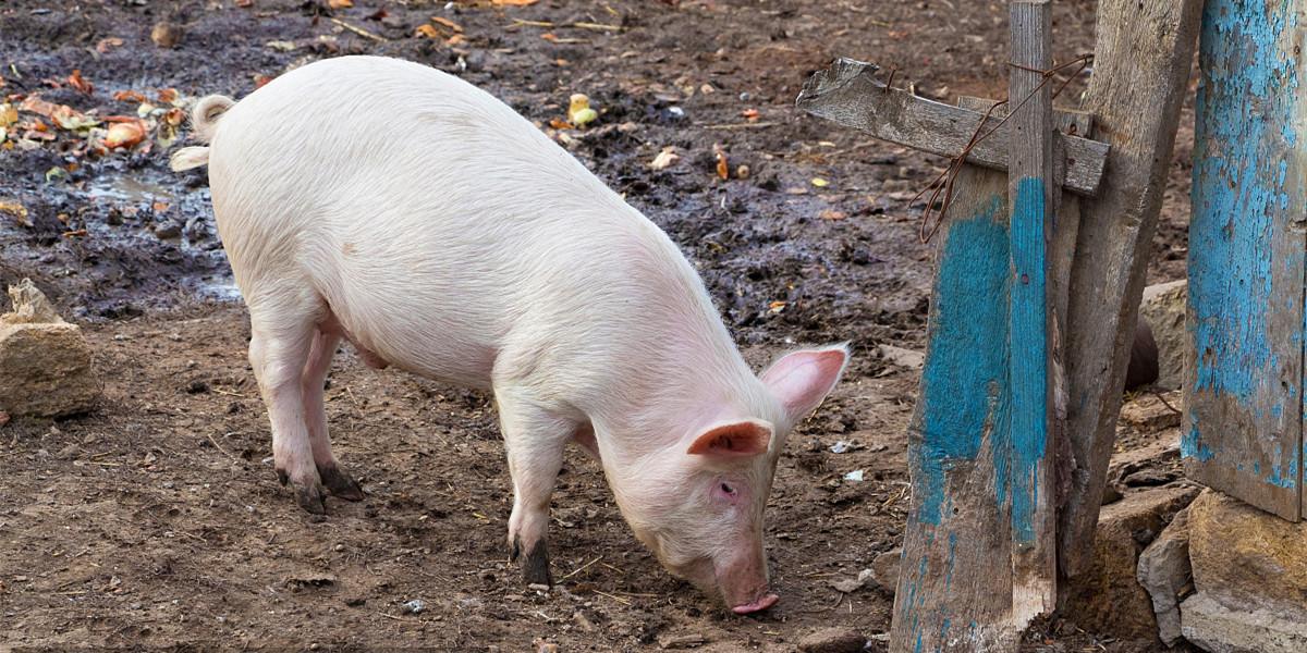 2021年03月01日全国各省市外三元生猪价格,全线飘红,猪价彻底迎来上涨逆转?