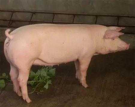 猪场选种怎么选?专家眼光告诉你:如何做好瘦肉型后备种母猪选购?