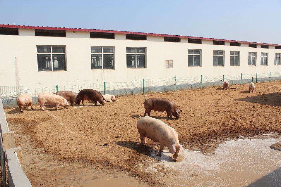 产房的管理要点(三):产后母猪的管理(上)