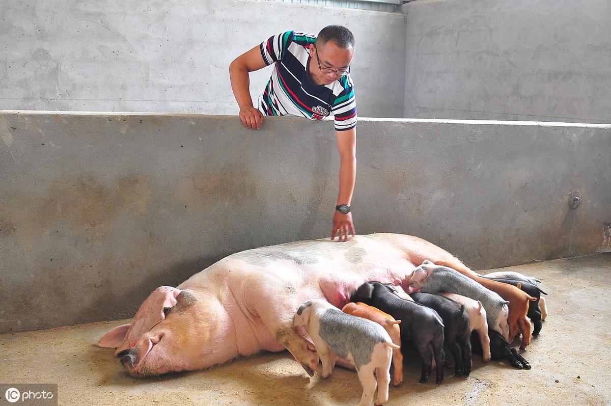 产房仔猪的饲养管理:如何获得初生重而健康的优秀仔猪