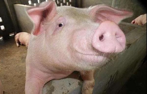 养猪场如何解决断奶猪发情率低