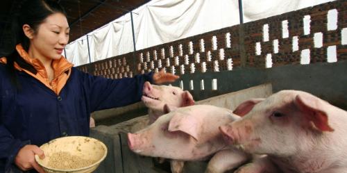 猪饲料生喂和熟喂的区别在哪?这些你们都不知道吧?