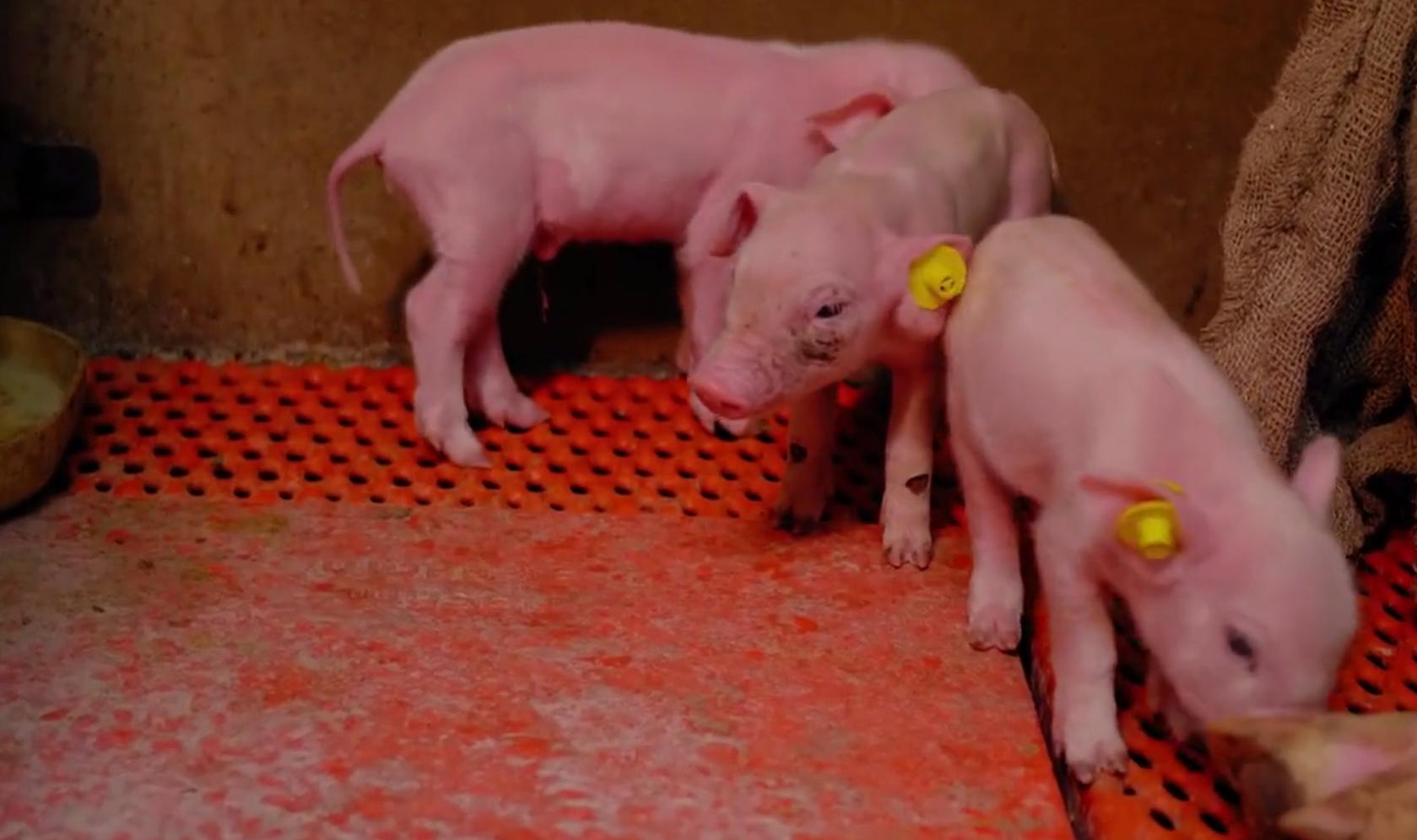 自动打耳标神器,让你养猪事半功倍!