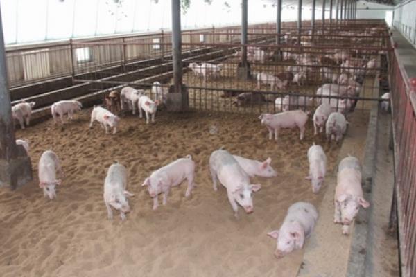 标准化养猪猪场怎么建设?怎么养?发展方向是什么?