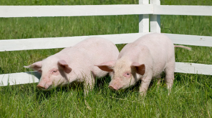 国家级生猪大数据中心:春节假期收官,生猪行情逐步恢复常态