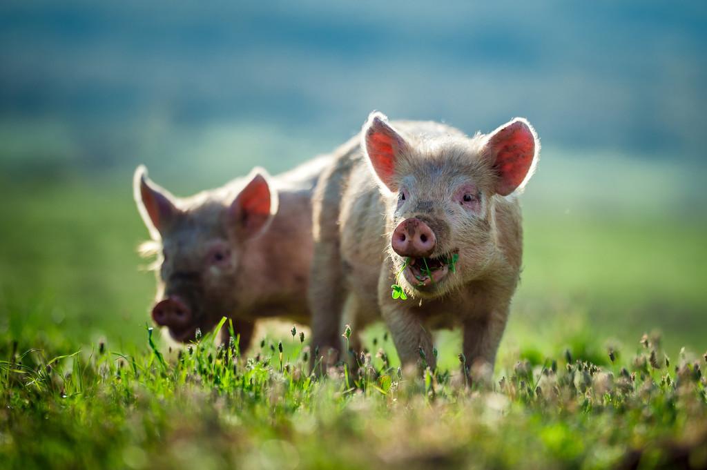 """养猪十三载,都不知道可以""""喂猪的饲料""""丨""""六大类猪饲料""""详解"""