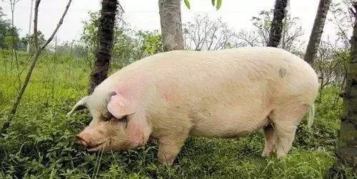 后备母猪是重点,关于后备母猪的五个实用问答