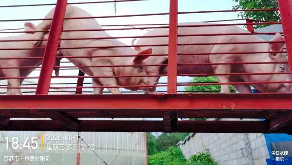 """地产老板""""跨界养猪""""!与扬翔服务中心合作一年,创收800万!"""
