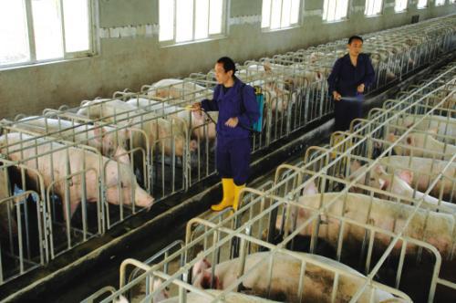春季猪正长肉的时候却生长缓慢?注意这7点,把猪喂得肥肥胖胖
