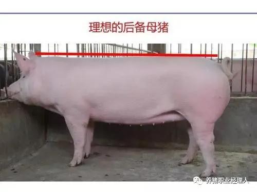猪场管理:配种繁殖区管理的主要目标及原则