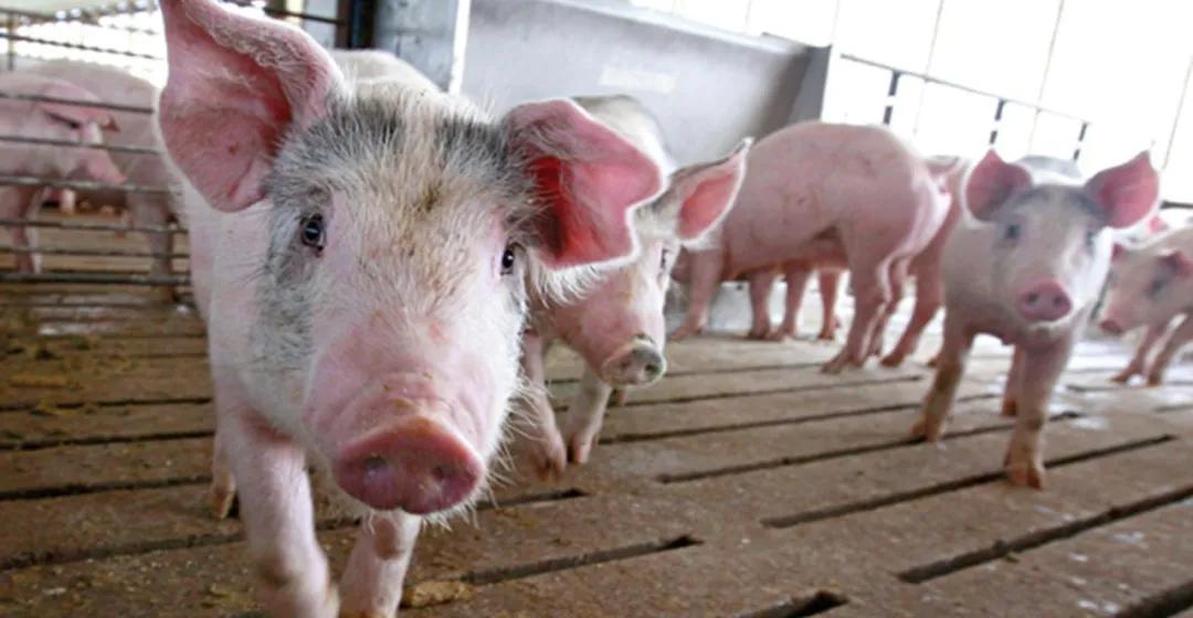 重磅!美国出现新型高致病蓝耳病 PRRS 1-4-4,养猪越来越难了