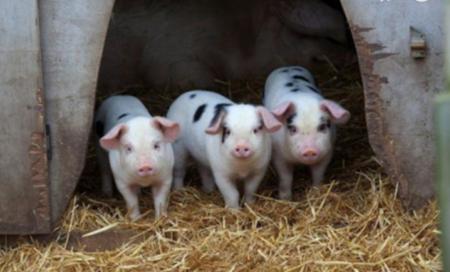 2021年03月04日全国各省市20公斤仔猪价格行情报价,行情虽好但风险巨大,补栏一定需要慎重