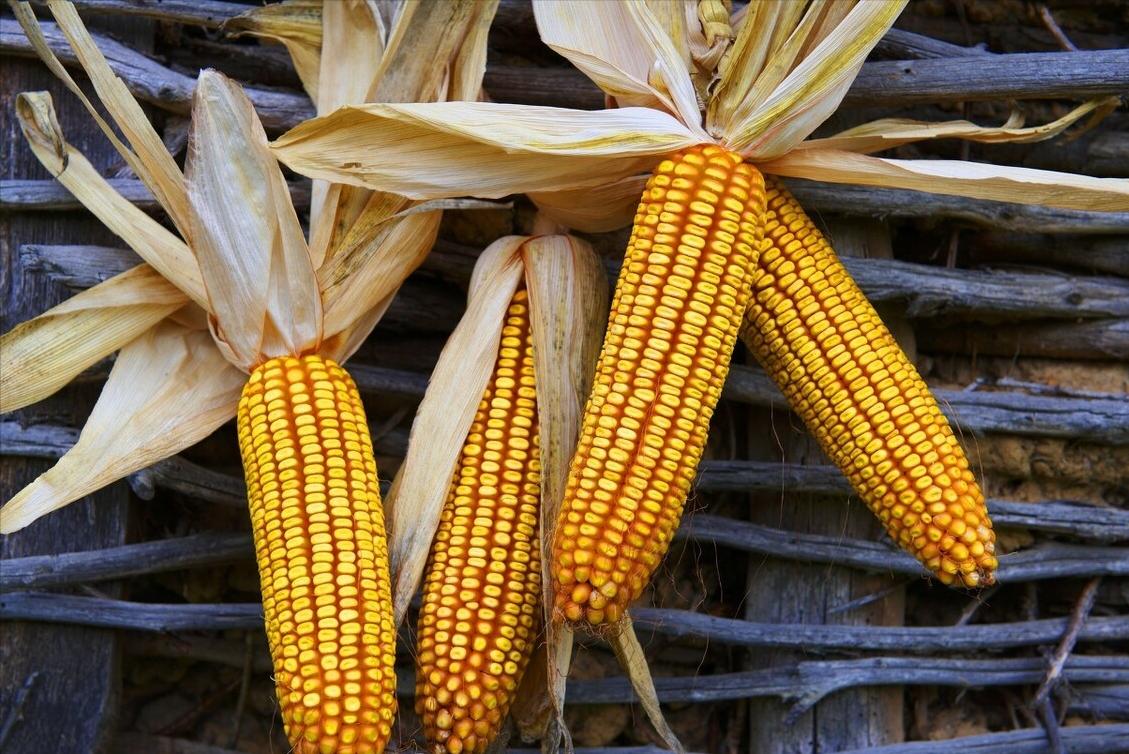 3月4日饲料原料,豆粕跟跌,小麦涨价,玉米市场风险无法逆转?