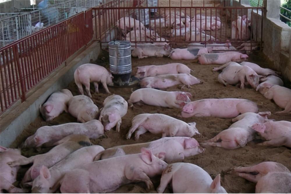 非洲猪瘟警报又响起,防疫工作很重要,后期的生猪养殖要怎么做?