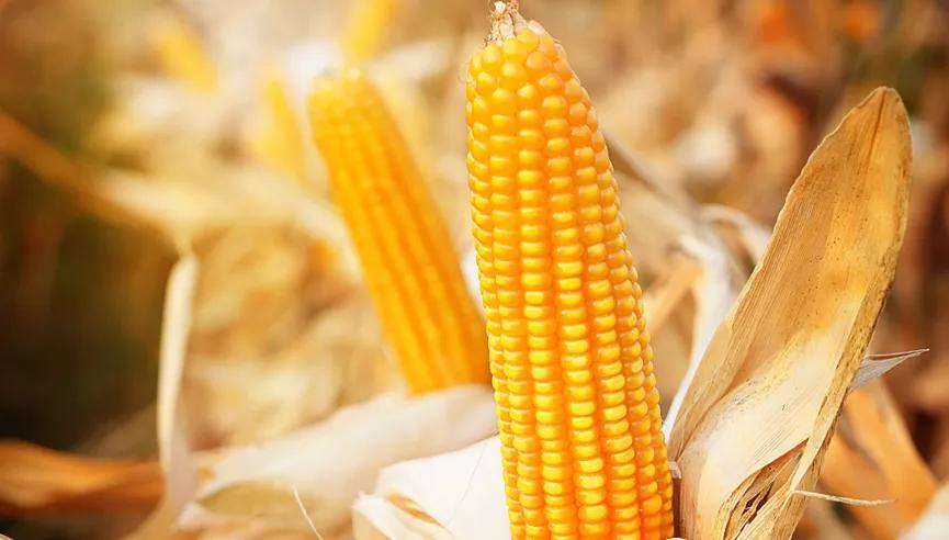 玉米高价运行,谷物替代迫切, 必须重点关注动物肠道健康