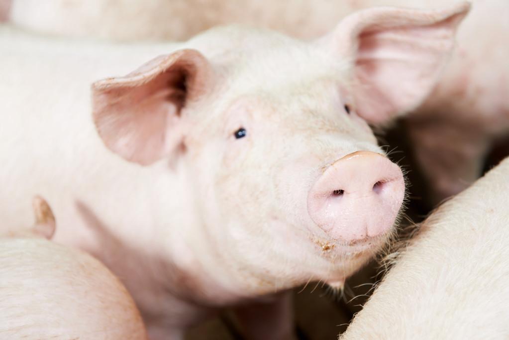 """春季猪群感冒高发季,如何辨别感冒""""寒热"""",并针对性治疗?"""
