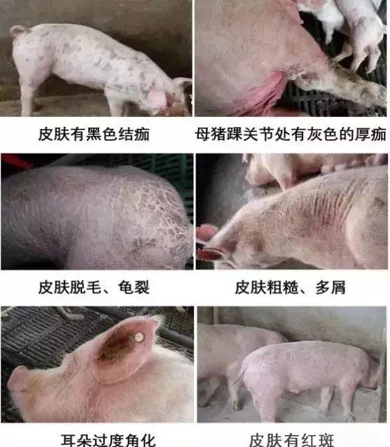 春季多发!国内几乎100%的养猪场均有感染,驱杀疥螨,不留隐患!