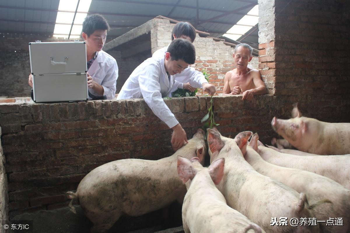了解四种极易在春季传播的猪病,预防治疗不用愁