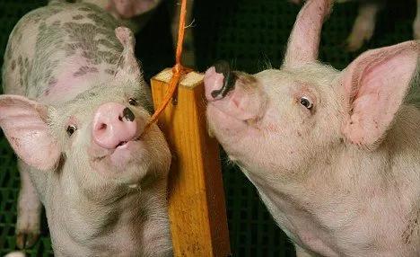 来看看:一例猪圆环病毒与副猪嗜血杆菌混合感染的诊治