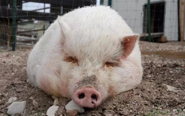 危机预警!这种是一般猪肉价格4倍的猪,因为猪瘟,濒临灭绝了?