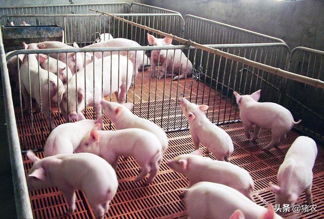 4月1日起,活猪调运限制将逐步从中南区扩大到全国