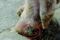 母猪出现蹄子干裂的现象,什么原因引起的,怎么治?
